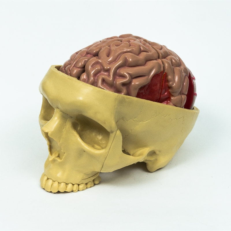 Advanced Plastic Medical Teaching Anatomical Models Brain Setcion Figure